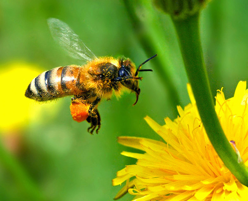 Pesticides and the decline of bees