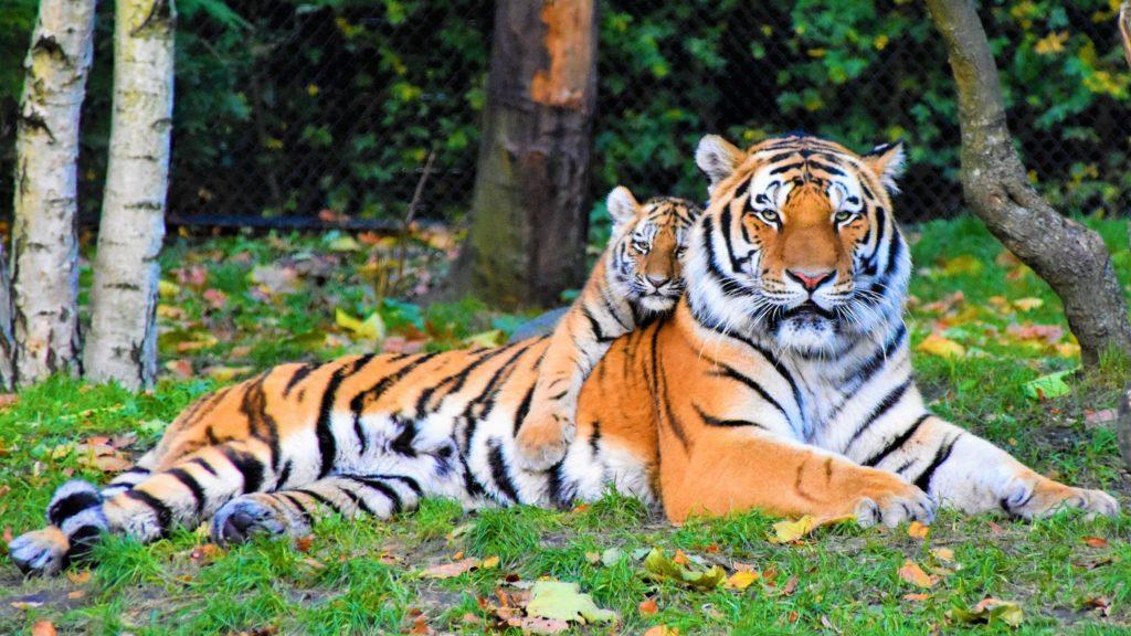 tiger extinction
